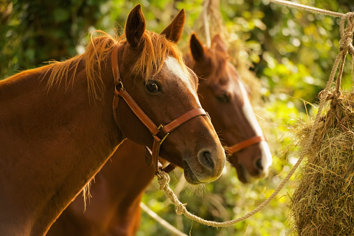 Battle「Two chestnut horses in trees eating hay」:スマホ壁紙(11)