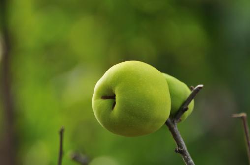 カリン「Unripe quince on branch, Chiba Prefecture, Honshu, Japan」:スマホ壁紙(18)