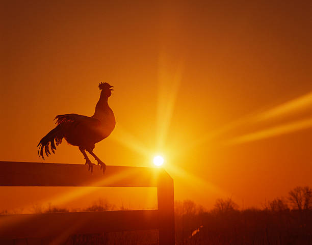 Rooster on fence at dawn, crowing:スマホ壁紙(壁紙.com)