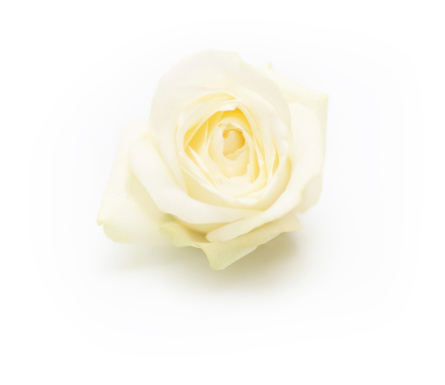 Floral Pattern「Isolated single white rose」:スマホ壁紙(14)