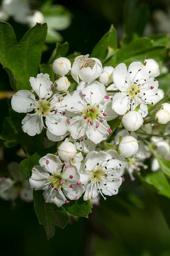 Hawthorn「Blossoming hawthorn」:スマホ壁紙(0)