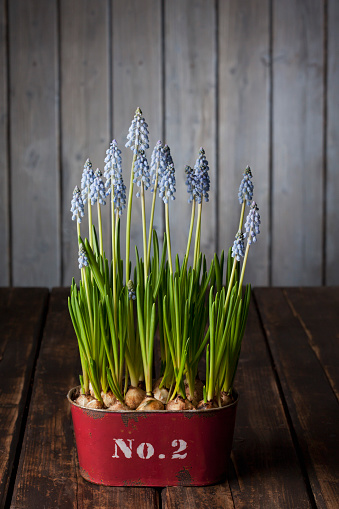 Grape Hyacinth「Blossoming grape hyacinths in a rusty container」:スマホ壁紙(10)