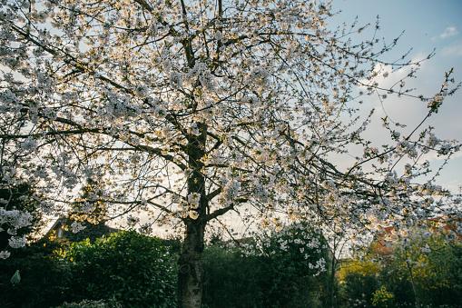 桜「Blossoming cherry tree」:スマホ壁紙(16)