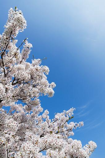 桜「Blossoming cherry tree」:スマホ壁紙(9)