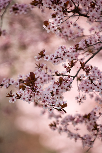 梅の花「Blossoming Branch of Purple Leaf Plum」:スマホ壁紙(8)