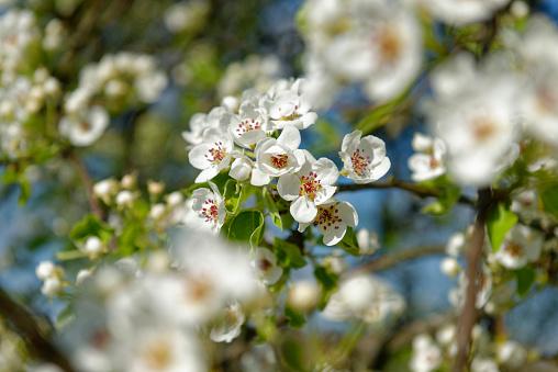 桜「Blossoming cherrry tree, close-up」:スマホ壁紙(7)