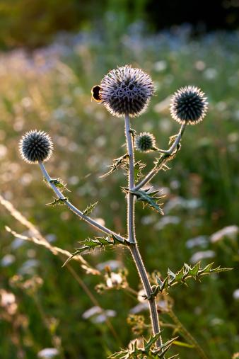 一匹「Blossoming thistle (Carduus) at sunlight」:スマホ壁紙(9)