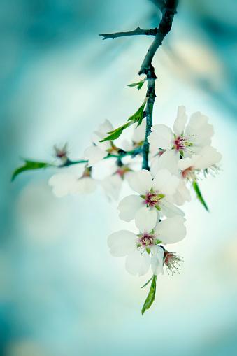 Focus On Background「Blossoming almond tree」:スマホ壁紙(2)