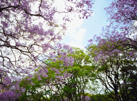 Buenos Aires「Blossoming trees」:スマホ壁紙(4)