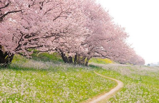Cherry Blossoms「Blossoming Yoshino cherry trees in a field of flowers, Ota Ward, Tokyo Prefecture, Japan」:スマホ壁紙(4)