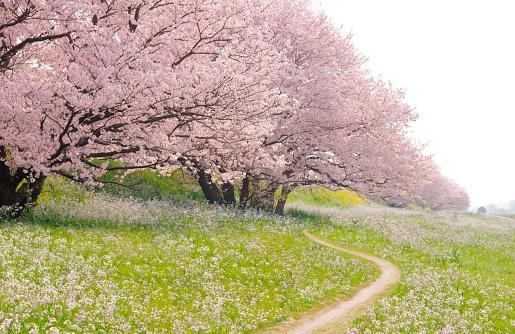 桜「Blossoming Yoshino cherry trees in a field of flowers, Ota Ward, Tokyo Prefecture, Japan」:スマホ壁紙(2)