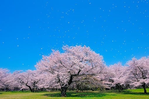 桜「Blossoming Yoshino cherry trees in a field with falling petals, Tokyo, Japan」:スマホ壁紙(8)