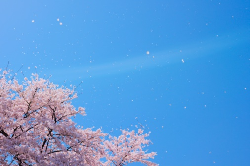 Cherry Blossom「Blossoming Yoshino cherry tree with falling petals, Tokyo, Japan」:スマホ壁紙(16)
