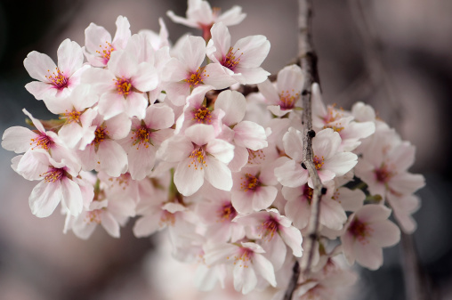 Cherry Blossom「Blossoming Cherry Tree Branch」:スマホ壁紙(15)