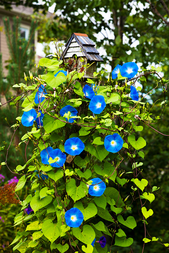 朝顔「Blossoming blue flowers on a plant in a residential backyard」:スマホ壁紙(1)