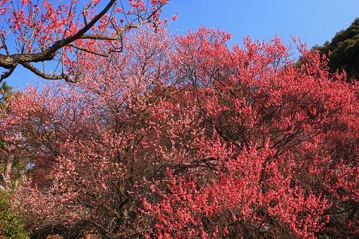梅の花「Blossoming Pink Plum Trees. Shinjuku Ward, Tokyo Prefecture, Japan」:スマホ壁紙(2)