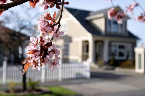 Cherry Blossom「花開くエリア」:スマホ壁紙(3)