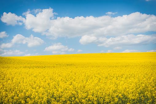 アブラナ「Blossoming rape field」:スマホ壁紙(19)