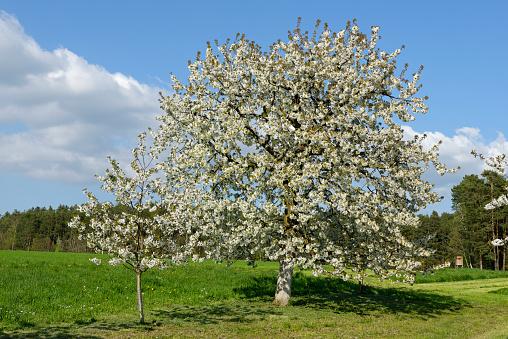 桜「Blossoming cherrry trees」:スマホ壁紙(6)
