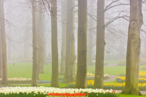 Keukenhof Gardens「Tuilps and mature trees shrouded in mist. April」:スマホ壁紙(9)