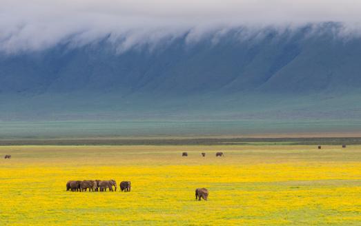 Ngorongoro Crater「Group of Elephants (Loxodonta africana) walking in amongst bright yellow flower- covered crater floor. Ngorongoro Crater, Ngorongoro Conservation Area, Tanzania.」:スマホ壁紙(19)