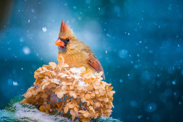 Christmas Bird, Female Cardinal, Hydrangea:スマホ壁紙(壁紙.com)
