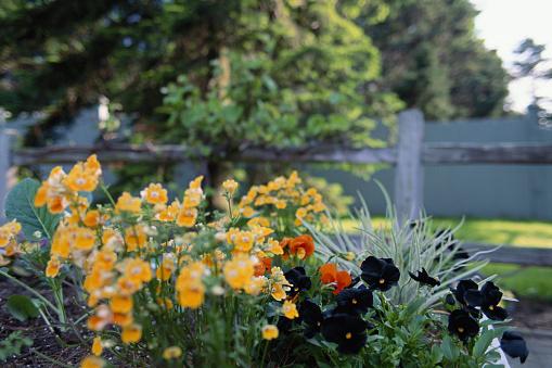 Botanical Garden「Pansies in bloom, spring」:スマホ壁紙(13)