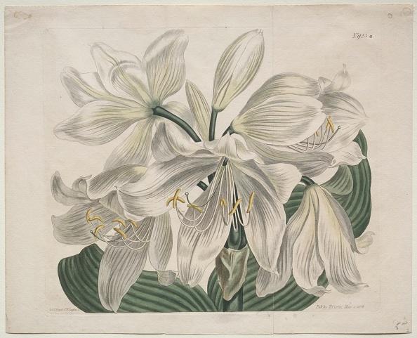 Ornamental Garden「The Botanical Magazine Or Flower Garden Displayed: White Cape - Coast Lily」:写真・画像(4)[壁紙.com]