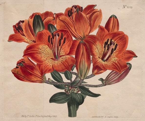 Ornamental Garden「The Botanical Magazine Or Flower Garden Displayed: ...Orange-Lily」:写真・画像(6)[壁紙.com]
