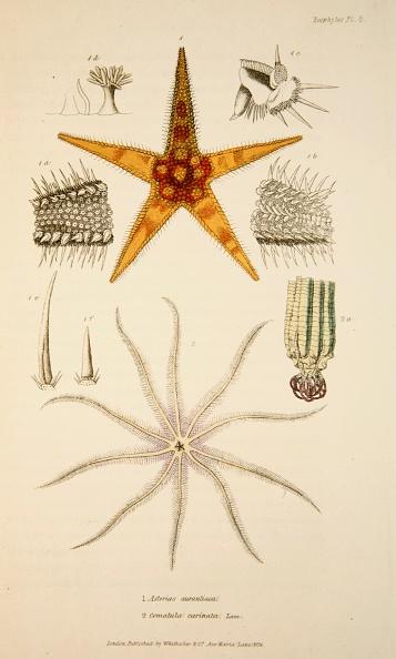 Hand Colored「Asterias Aurantiaca And Comatula Carinata」:写真・画像(15)[壁紙.com]