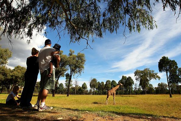 Giraffe「Behind The Scenes At Taronga Western Plains Zoo」:写真・画像(18)[壁紙.com]