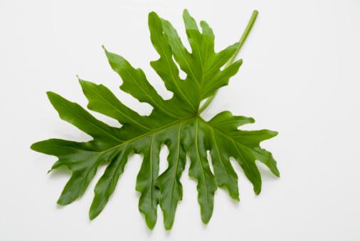 Frond「Unique leaf」:スマホ壁紙(8)