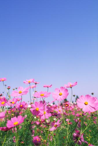Cosmos Flower「Pink Cosmos Flowers in Field Against Blue Sky」:スマホ壁紙(19)