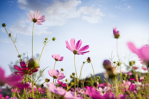 コスモス「コスモスピンクの花」:スマホ壁紙(19)