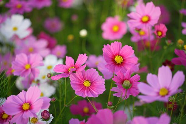Pink cosmos flowers:スマホ壁紙(壁紙.com)