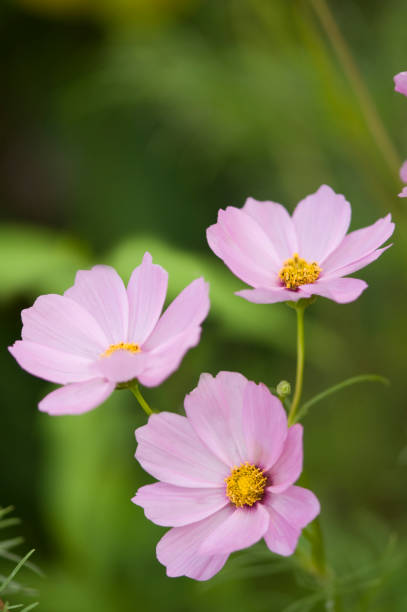Pink Cosmos Flower. Mexican aster:スマホ壁紙(壁紙.com)
