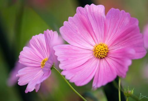 コスモス「Pink Cosmos Flower. Mexican aster」:スマホ壁紙(1)