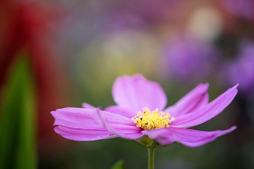 コスモス「Pink Cosmos Flower. Mexican aster」:スマホ壁紙(14)