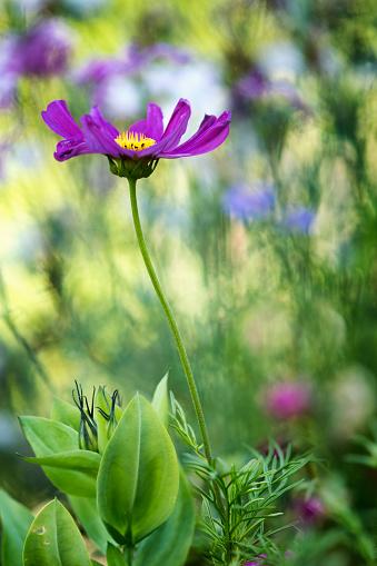 コスモス「Pink Cosmos Flower. Mexican aster」:スマホ壁紙(16)