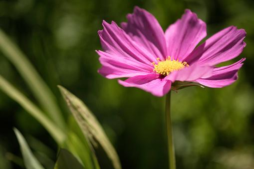 コスモス「Pink Cosmos Flower. Mexican aster」:スマホ壁紙(13)