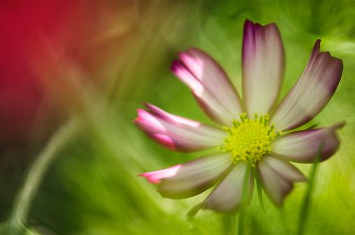 ガーデンコスモス「Pink Cosmos Flower. Mexican aster」:スマホ壁紙(17)