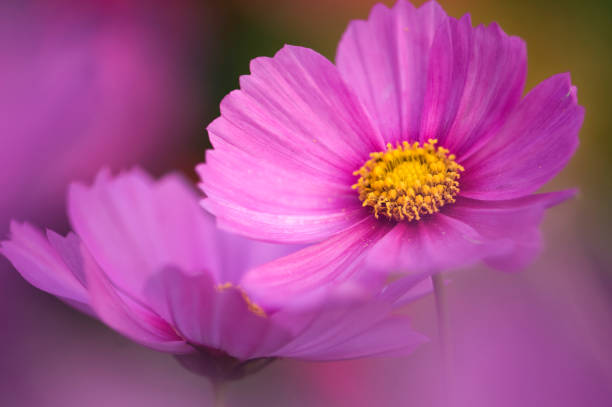Pink Cosmos Flowers Touching. Mexican aster:スマホ壁紙(壁紙.com)