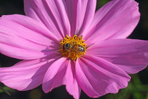 コスモス「Pink cosmos with honey bee collecting pollen」:スマホ壁紙(3)