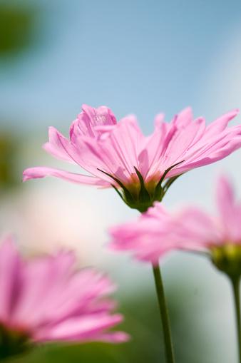 ガーデンコスモス「Pink Cosmos Flowers. Mexican aster」:スマホ壁紙(18)