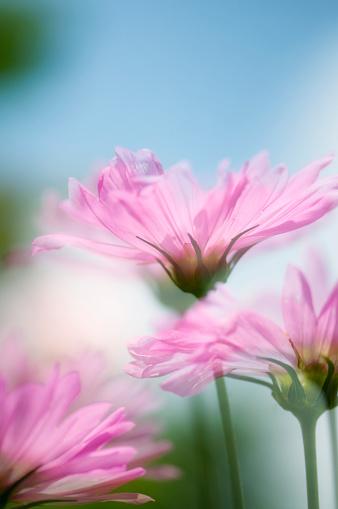 ガーデンコスモス「Pink Cosmos Flowers. Mexican aster」:スマホ壁紙(4)