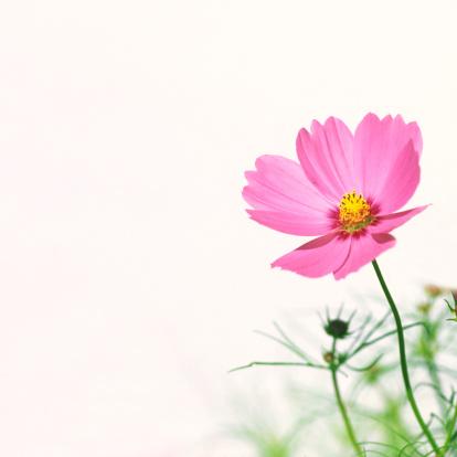 Cosmos Flower「Pink Cosmos」:スマホ壁紙(14)