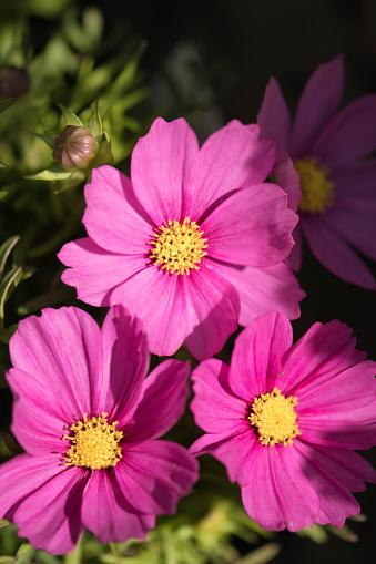 コスモス「Pink Cosmos Flower Trio. Mexican aster」:スマホ壁紙(11)