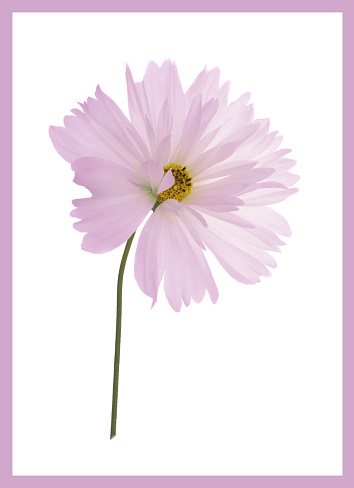 Stamen「Pink cosmos flower with stem on white with pink border.」:スマホ壁紙(5)