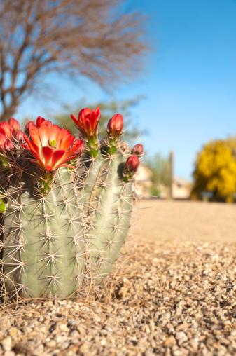Flower Head「Claret Cup Hedgehog Cactus Blossoms」:スマホ壁紙(10)