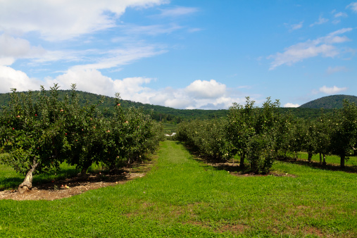 リンゴ「アップルオーチャードで、クールな秋の朝」:スマホ壁紙(11)